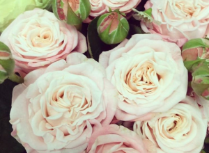 Sweet Avalanche Spray Roses
