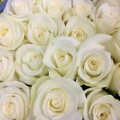 Akito Roses