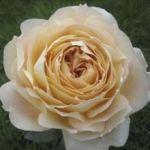 Rose Caramel Antique