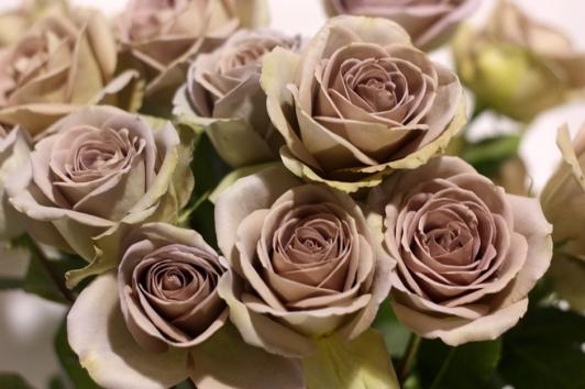 Rose Amnesia