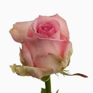 Rose Sorbet