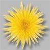 Blooms Anastasia Yellow