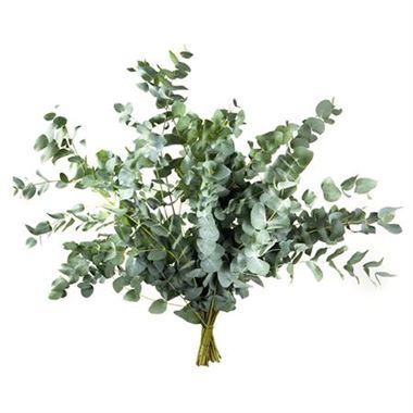 eucalyptus-cinerea-400g-wholesale