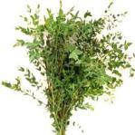 eucalyptus-parvifolia-wholesale-5