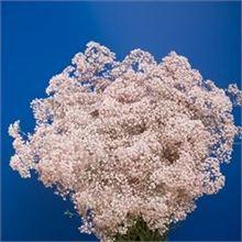 Gypsophila Pink