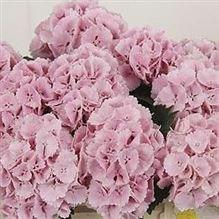 Hydrangea Lolly Pop Pink