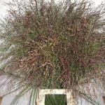 PANICUM WARRIOR GRASS