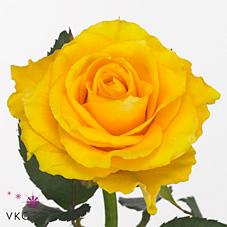 Rose Blondine