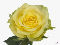 Rose Gelosia