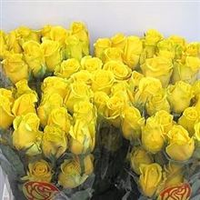 Rose High and Exotic Yellow