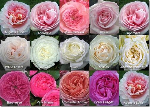Mayesh-Garden-Roses