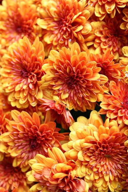 Guide To Charming Chrysanthemums Triangle Nursery