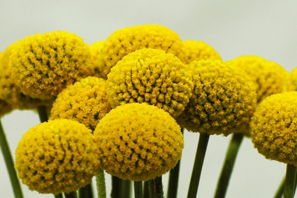 craspedia_oceanview-flowers