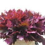 oak-leaves-dyed-cerise-wholesale
