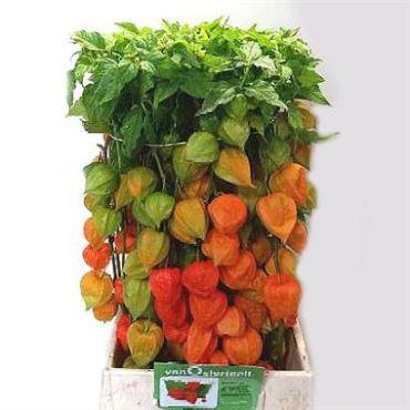 physalis-chinese-lantern-stems-orange-wholesale-4