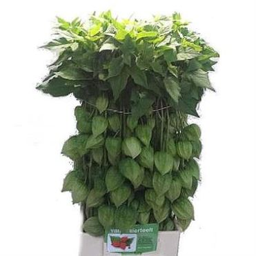 physalis-chinese-lanterns-green-wholesale