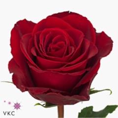 Rose Madam Red