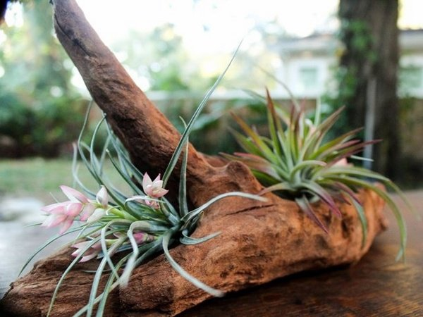 diy-air-plant-containers-easy-ideas-driftwood-tillandsia-ideas
