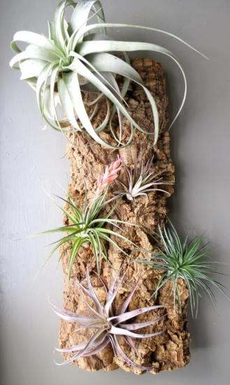 how-to-mount-air-plants-ideas-wall-mounted-tillandsia-ideas-driftwood