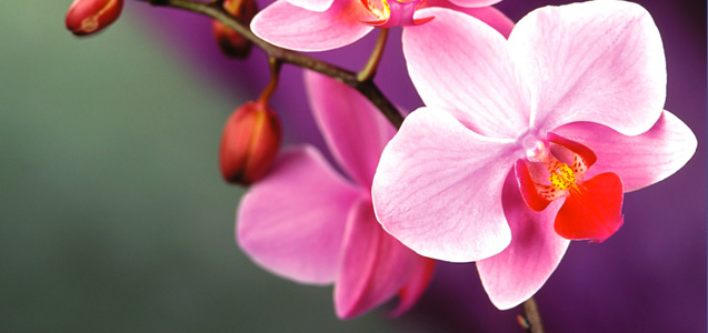 orchid-care-phal