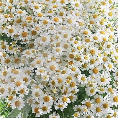 Tanacetum-Victory-Enkel-wholesale-flowers.jpg