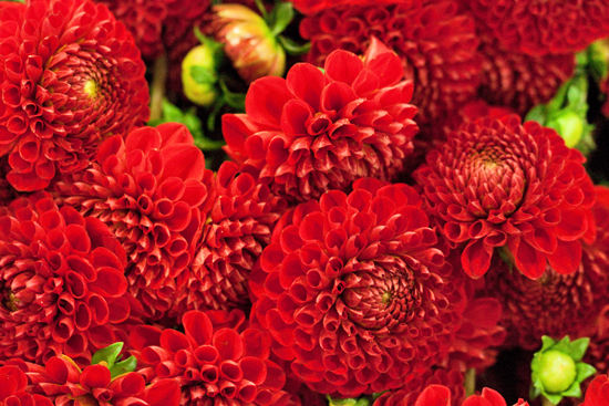 14_New-Covent-Garden-Flower-Market-Dahlias-Flowerona