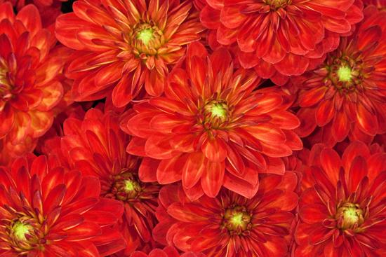 4_New-Covent-Garden-Flower-Market-Dahlias-Flowerona