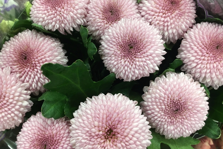 Chrysanthemum Single Momoko