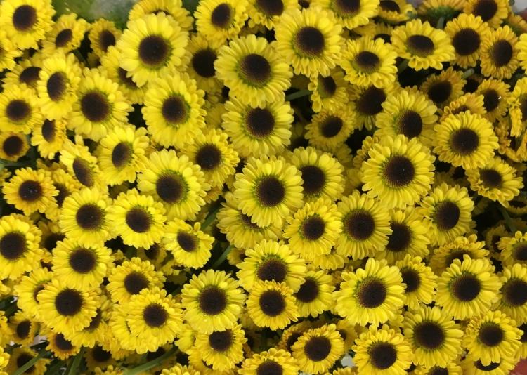 Chrysanthemum Santini Madiba Twiga