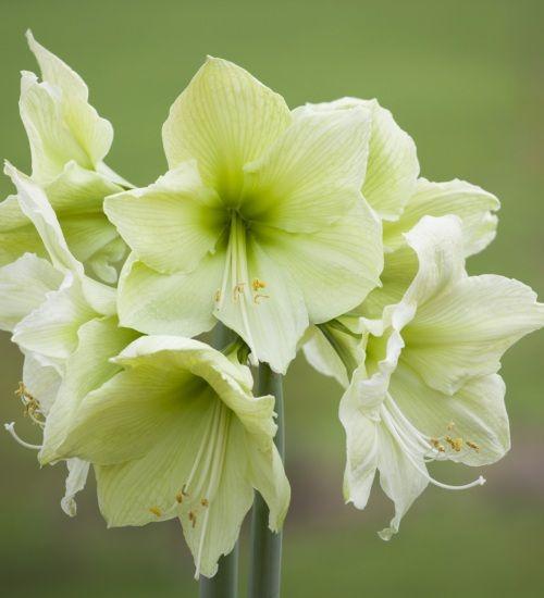 1c52fcb476db10c76614ad95420f6b31--amaryllis-beautiful-flowers