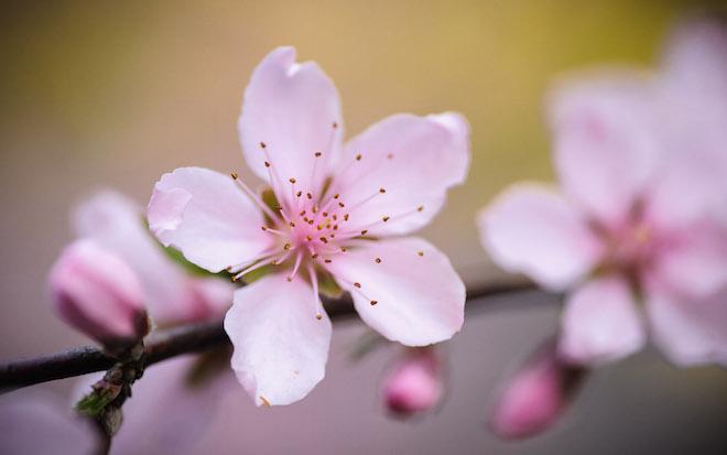 peach-blossom.jpg