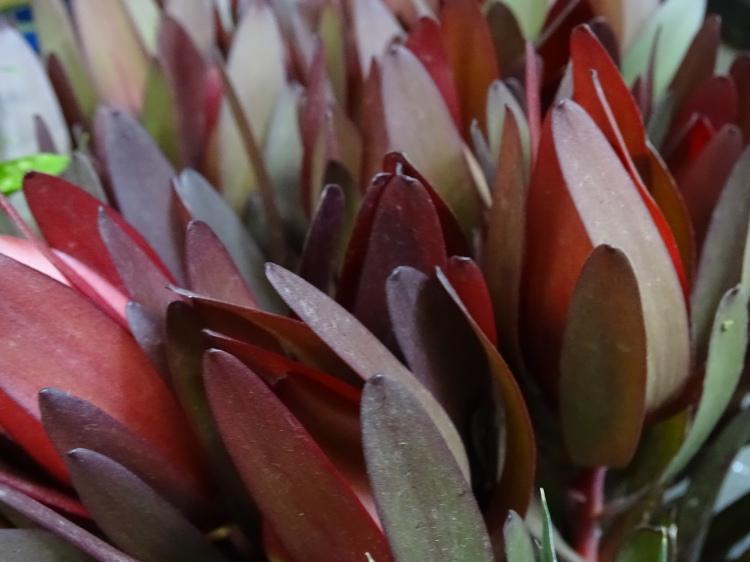 Leucandendron Safari Sunset