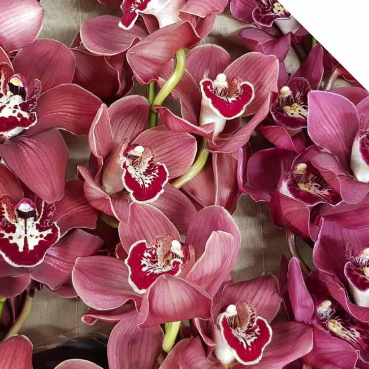 Discover more about Cymbidium Orchids this Season